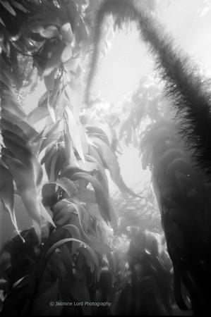 Kelp Canopy