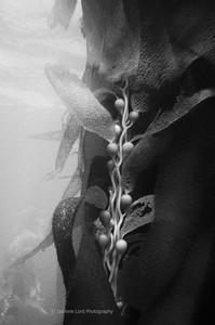 Kelp Study 2