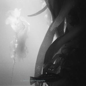 Kelp Study 1