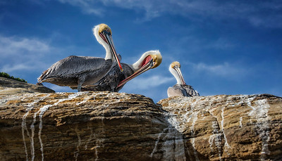 Pelicans perch at the San Diego tide pools