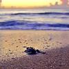 Sea Turlte HDR 026