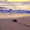 Sea Turtle HDR 028