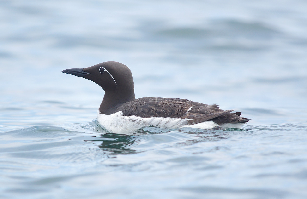 Bridled Guillemot Machias Seal Island, NB Canada