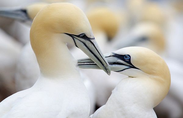 Northern gannet pair Bonaventure Island, Quebec Canada