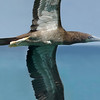 Brown Booby (juvenile)<br /> South Florida