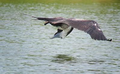 a little refreshment Juvenile Magnificent Frigatebird Fort de Soto State Park St. Pete, FL