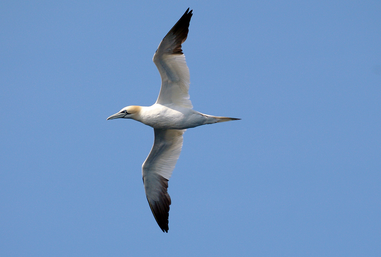 Northern Gannet, off the coast of St. Anthony, Newfoundland & Labrador, Canada