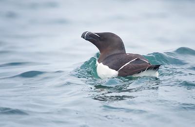 Razorbill Machias Seal Island NB, Canada