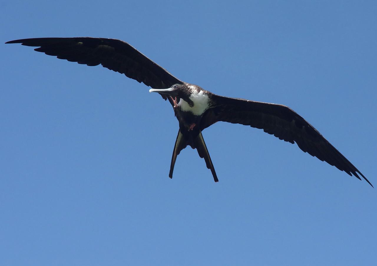 multi-tasker Magnificent Frigatebird (female) Ft. De Soto State Park Florida