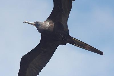 detected. Male Magnificent Frigatebird (Juvenile) Fort de Soto State Park
