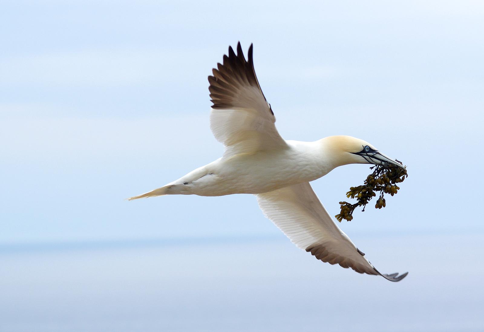 Northern gannet with nesting materials Bonaventure Island Quebec, Canada