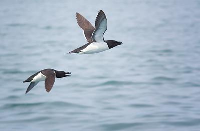 Razorbills Machias Seal Island NB, Canada