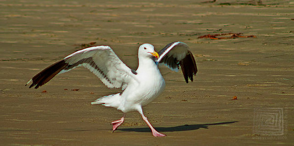 """Grace"", Seagull, Solana Beach, Ca., 09/05/09"
