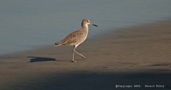 """Willet Morning"", Carlsbad, Ca., 08/27/10"