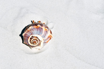 USA, Florida, Gulf Coast Seashells, Crown Conch