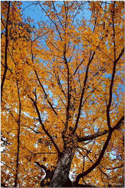 Nov 15<br /> The golden tree<br /> <br /> I love the color of ths tree in the fall. The leaves seem to sparkle in the sunlight. Although the sun had set I couldnt resist grabbing a photo! Best viewed in X2<br /> <br /> Thanks for all of the wonderful comments on my roadside grasses shot yesterday! Yes Fotomom, that was in central NC, Chapel hill actually!