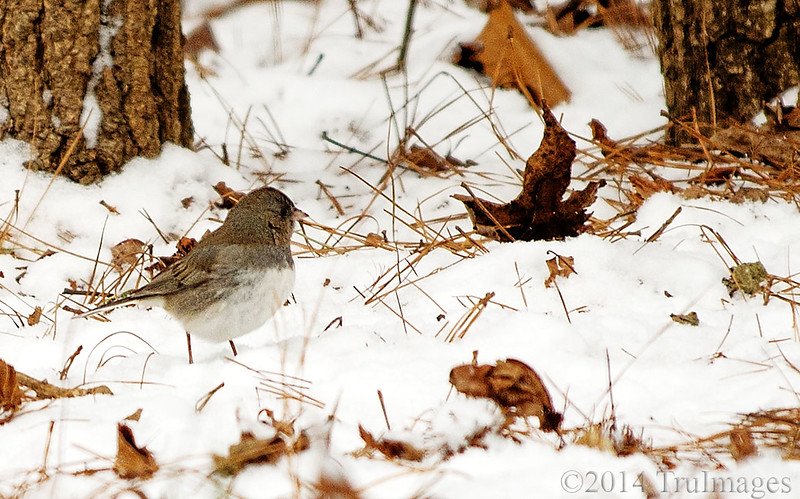 Jan 31<br /> Checking out the snow<br /> <br /> A junco stands in the snow surveying the snowfall.Juncos are common birds seen across North Carolina in winter. They migrate here from their breeding grounds in New England and Canada Could this be the owner of the 'footie prints' that I posted earlier this week??