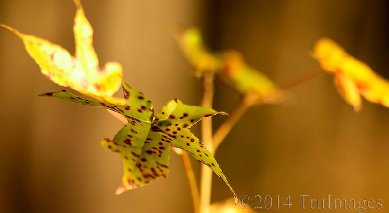 Leopard Leaf