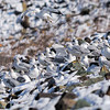 Feb 13<br /> <br /> Camouflaged Seagulls