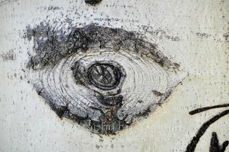 An 'eye' in an aspen tree.