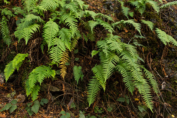 Ferns at deception pass