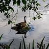 Sitting Goose