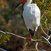 Ibis in North Carolina