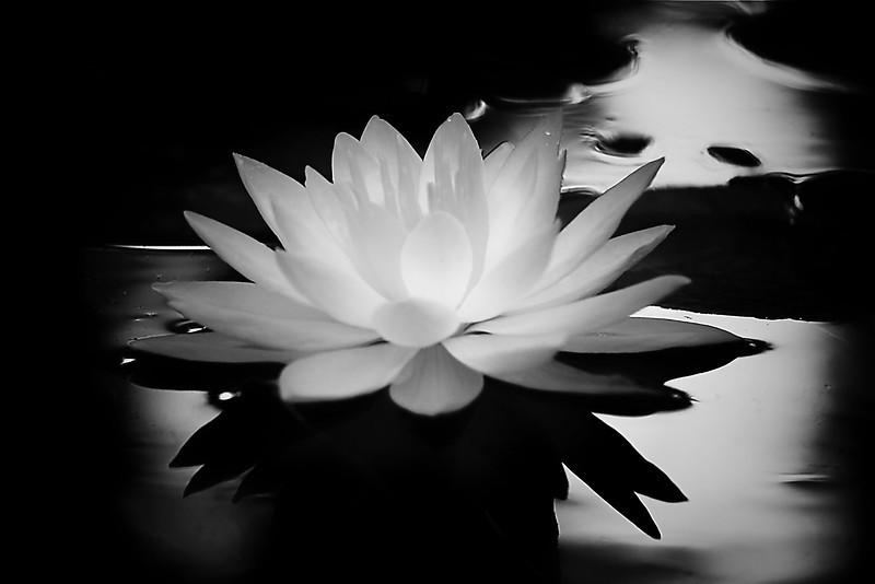 Waterlily in monochrome
