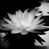 Waterlily in monochrome