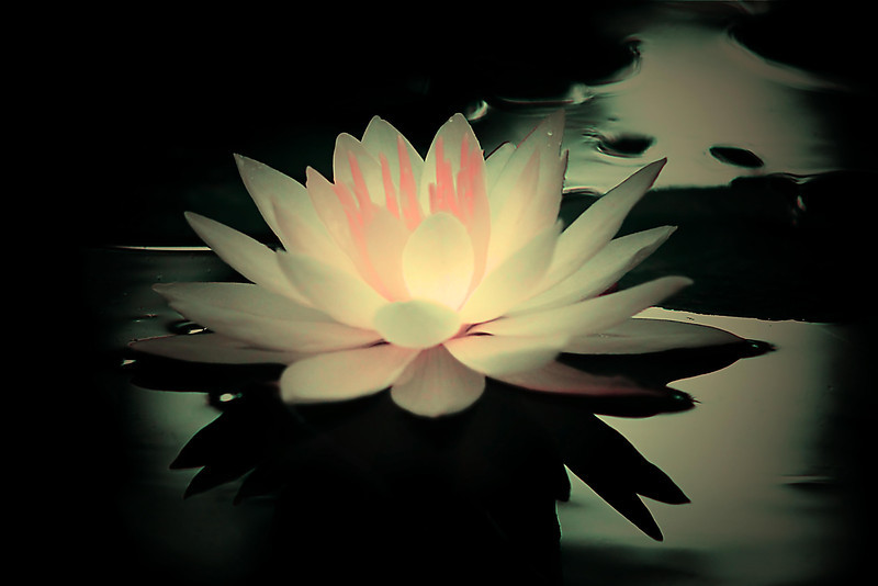 Waterlily in soft tones