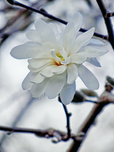 White magnolia blossom on the tree welcoming Spring finally to Ohio in 2013