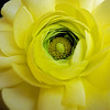 The eye of the flower - ranunculus flower