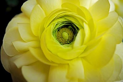 The eye of the flower - ranunculus flower