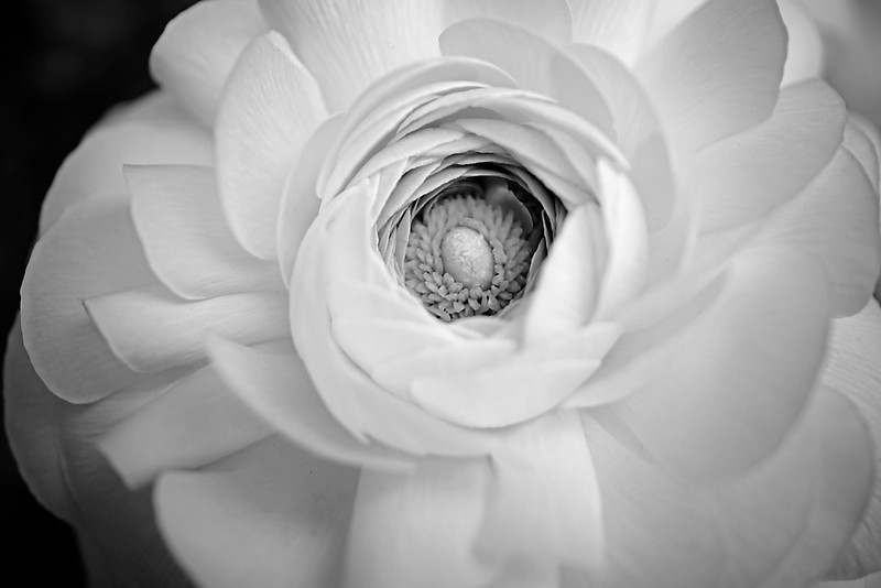 The eye of the flower - ranunculus flower in monochrome