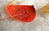 Late Fall leaf. Santa Fe, New Mexico.
