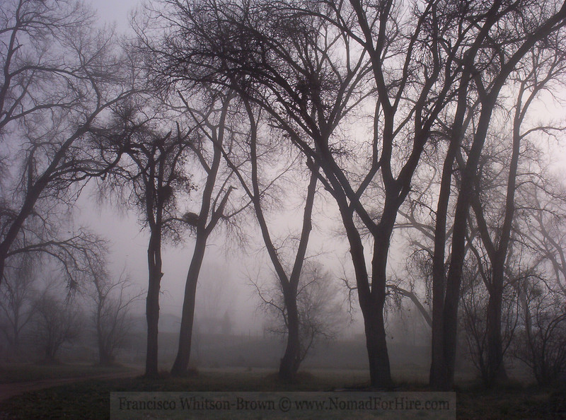 Cottonwood Forest, on a rare foggy evening, Espanola New Mexico.