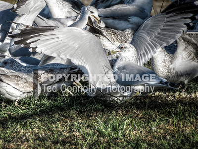HDR-FINISHED-Gulls_1