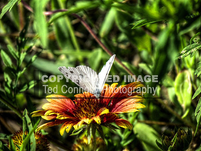 HDR-FINISHED-Butterfly_1