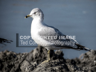 HDR-FINISHED-PosingGull_1