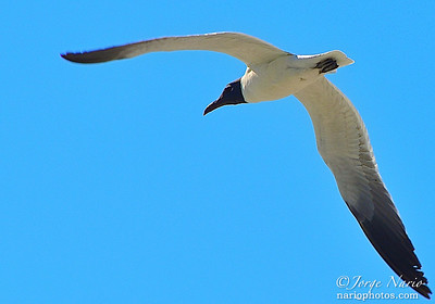 ... wing span!