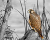 Peregrine Falcon 0147 copy