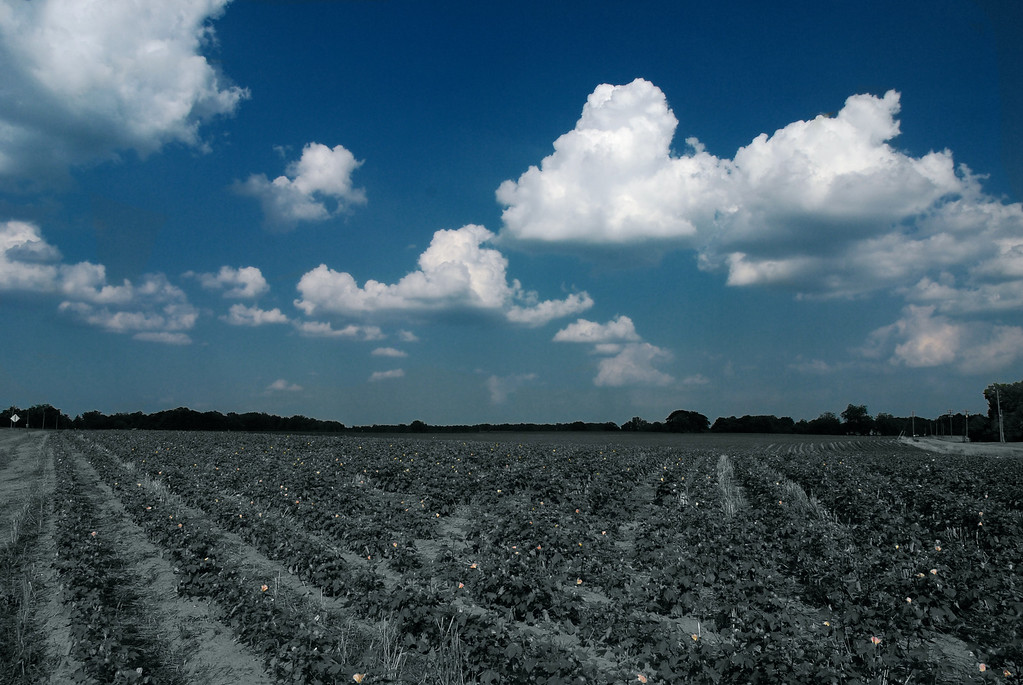 Cotton field in Oconee County (GA) August 2009