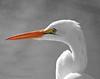 Egret Portrait wm copy