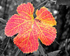 Grape Leaf sc