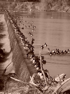 Canadian Geese perched on the falls, Snake River, Idaho Falls, ID. 10.08. Sepia