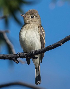 Pacific Slope Flycatcher 9-17-17 Jacumba