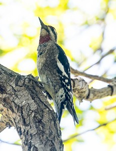Red-naped Sapsucker 9-28-17 La Jolla