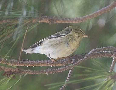 Blackpoll Warbler 9-23-17 FRNC