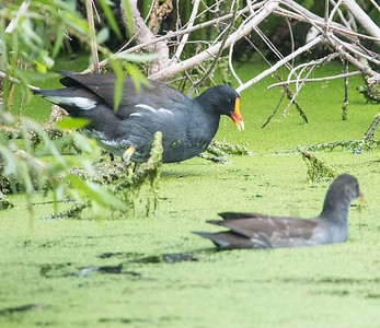 Common Gallinule.  TRV 9-4-17.  This bird used to be called a common moorhen