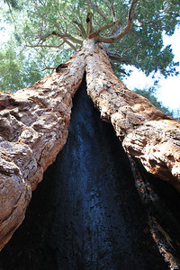 Sequoia tree partially burnt out center
